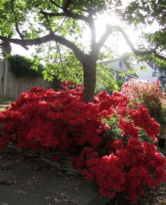 10 plants (shrubs, annuals, and perennials) that grow well under trees and tips for success. Here: an azalea blooms under the shade of a tree.