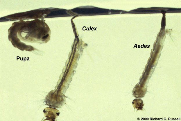 Aedes and culex - larva and pupa