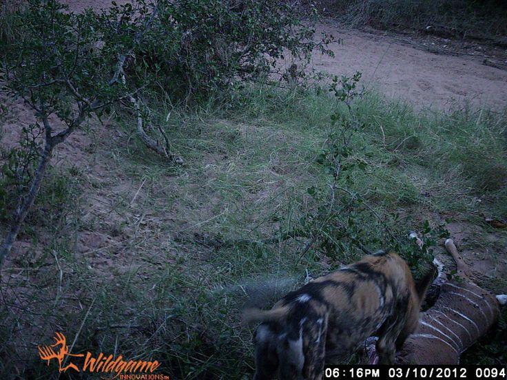 Wild dog on as kill