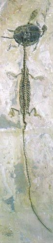 Two ancient reptile fossils preserved in fine, volcanic sediments from Liaoning (China).