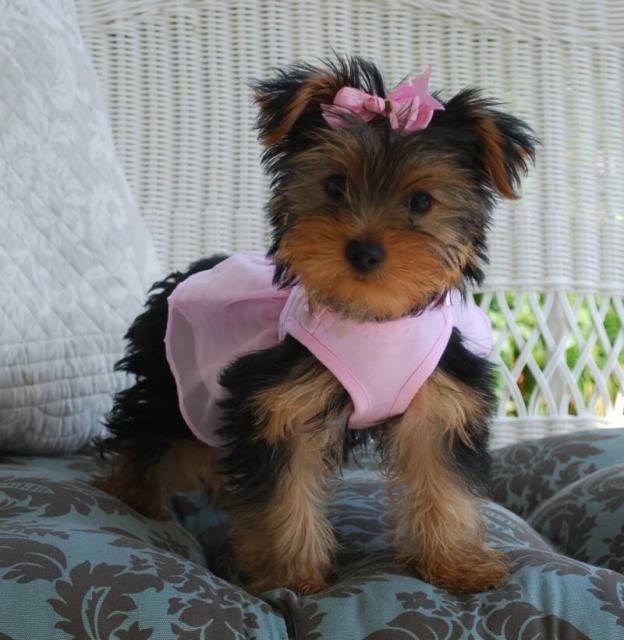 1 00 Regalo Preciose Cachorros Bichon Maltes Mini Toy Gratis Buscando Un Buen Hogar Para Mis Cachorros Tienen Gran Tempera Maltes Mini Cachorros Mascotas