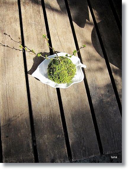 目木の苔玉