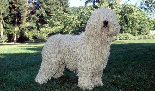 This Is A Large White Colored Hungarian Breed Of