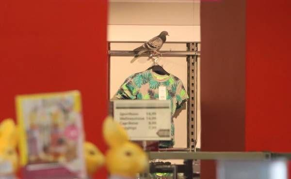Verirrte Taube aus Geschäftslokal in Wels-Innenstadt gerettet