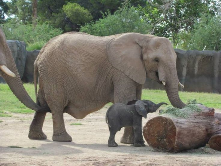 African Elephant calf at the Reid Park Zoo via ZooBorns.com