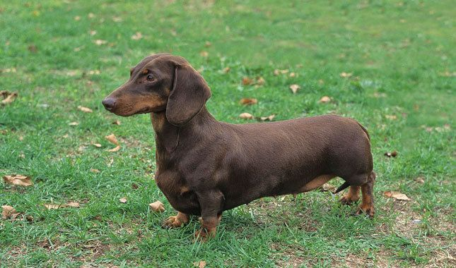 Dachshund Dog Breed Information. Great website!