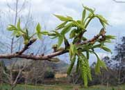Growing pecans: the male pecan flower
