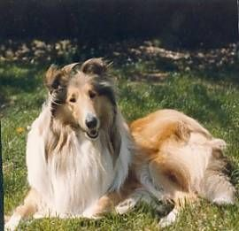 10 Best Big Dog Breeds For Families.  After months of research, talking to owners, talking to breeders, and studying our own lifestyle we have decided that we will either be getting a rough collie or a german shepherd as our next dog.