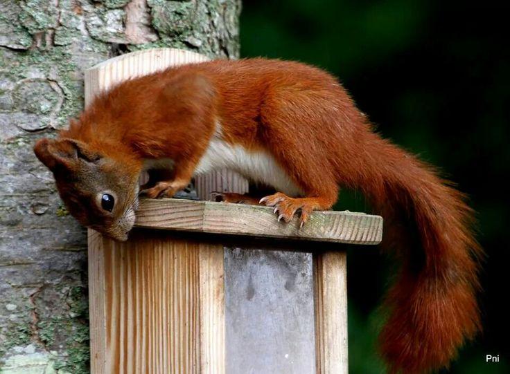 Rød egeren.