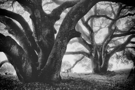 Dual Winter Oaks in Black and White, Mist Fog and Trees, Petaluma, Bay Area Photographic Print by Vincent James at AllPosters.com