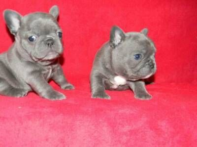french bulldog rescue | Blue French Bulldog Puppies – The Differences