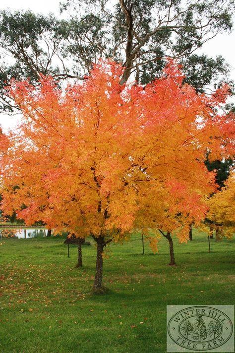 73 best arboles images on pinterest plants plant and colors - Arce arbol variedades ...