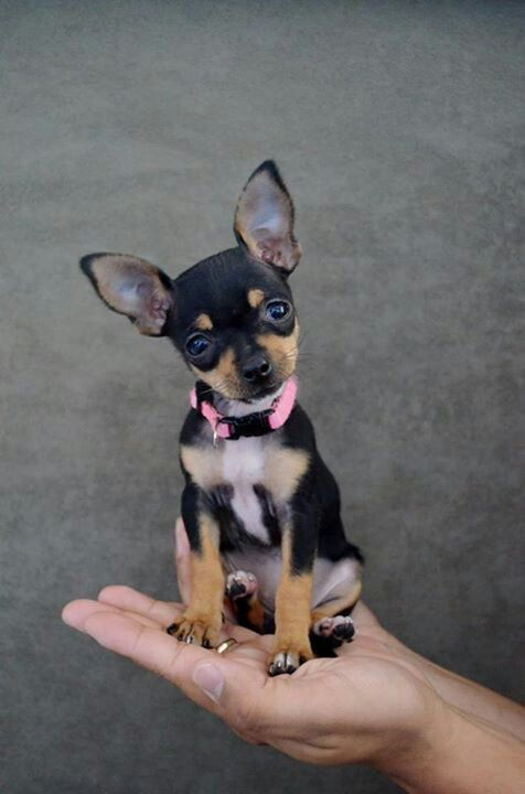 Chihuahua - This one is a hand full.--- he looks just like my day day when he was a baby :((((