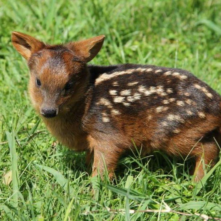 venado chikito/ pudu in 2020 Cute, Animals, Aesthetic