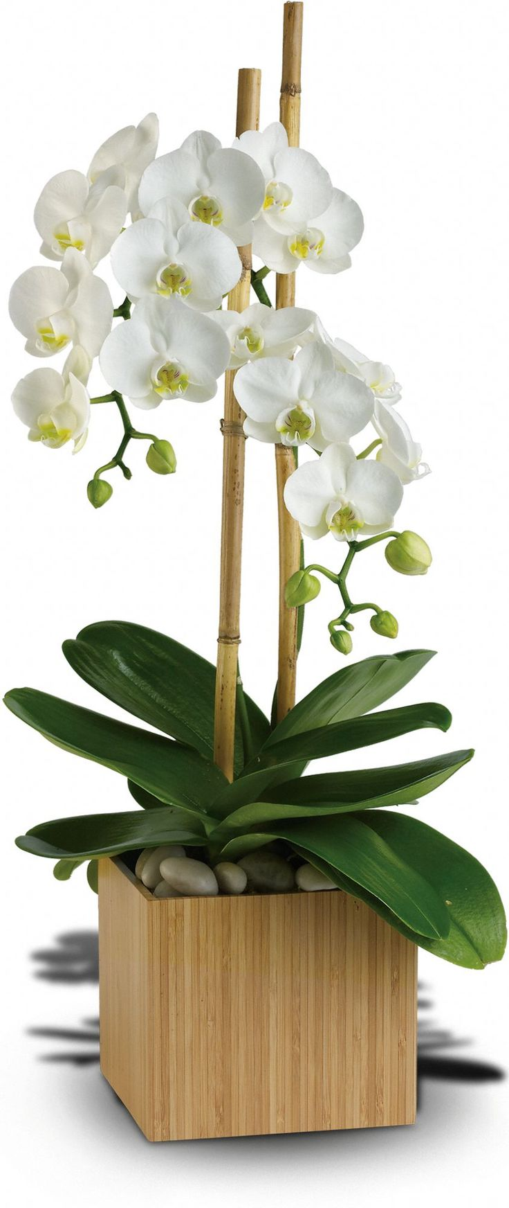 Send Zen. A graceful white phaleanopsis orchid plant potted in a modern bamboo container is an enchanting gift for any occasion.