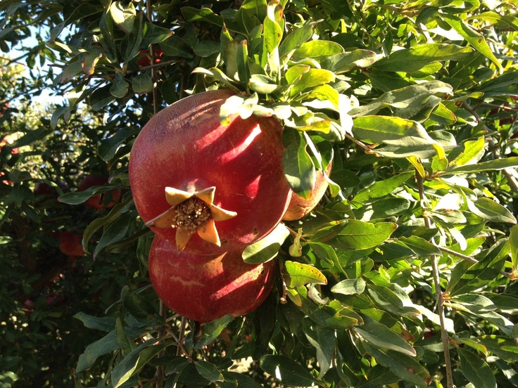 A lovely pomegranate crown hanging out in the POM orchard.