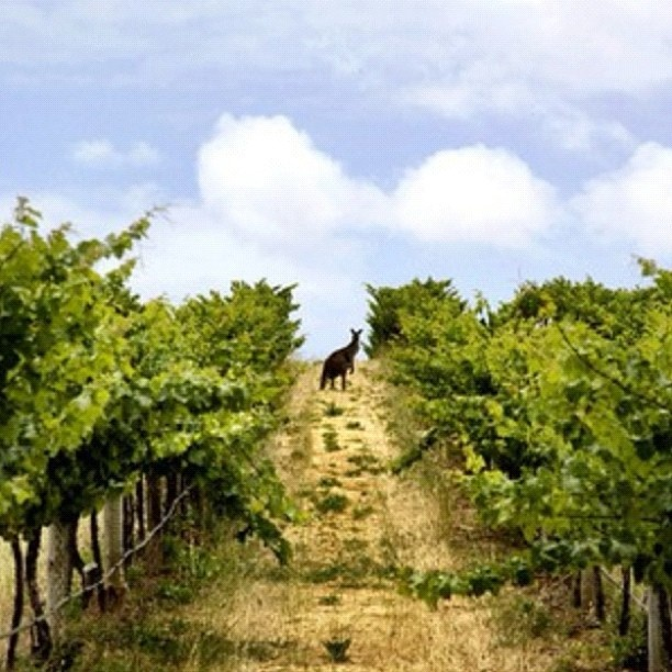 McLaren Vale vineyards South #Australia    Photo by seeaustralia