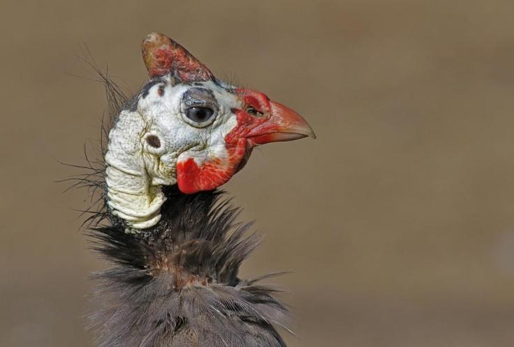 99 Best Guinea Fowl Images On Pinterest  Guinea Fowl -4137