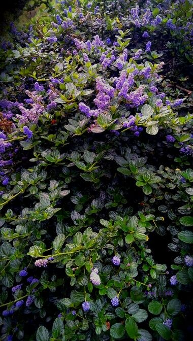 Ceanothus 'Yankee Point' - groundcover to 2' high
