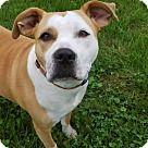 Westminster, MD - American Staffordshire Terrier/Labrador Retriever Mix. Meet Poppi, a for adoption. http://www.adoptapet.com/pet/15513419-westminster-maryland-american-staffordshire-terrier-mix