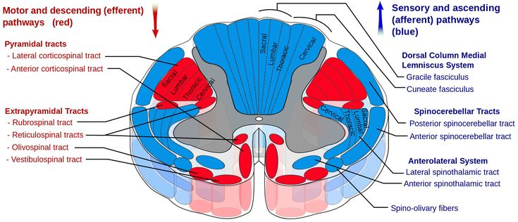 Spinal Cord Segment- Ascending and Descending Sections