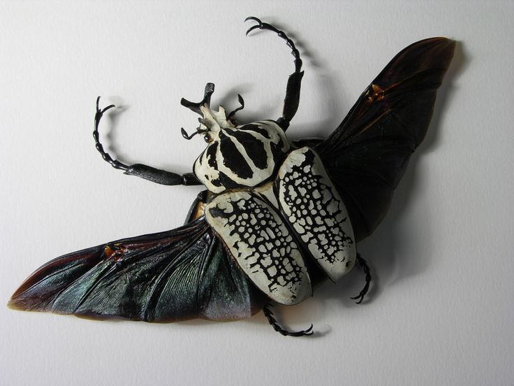 goliath beetle - Google Search