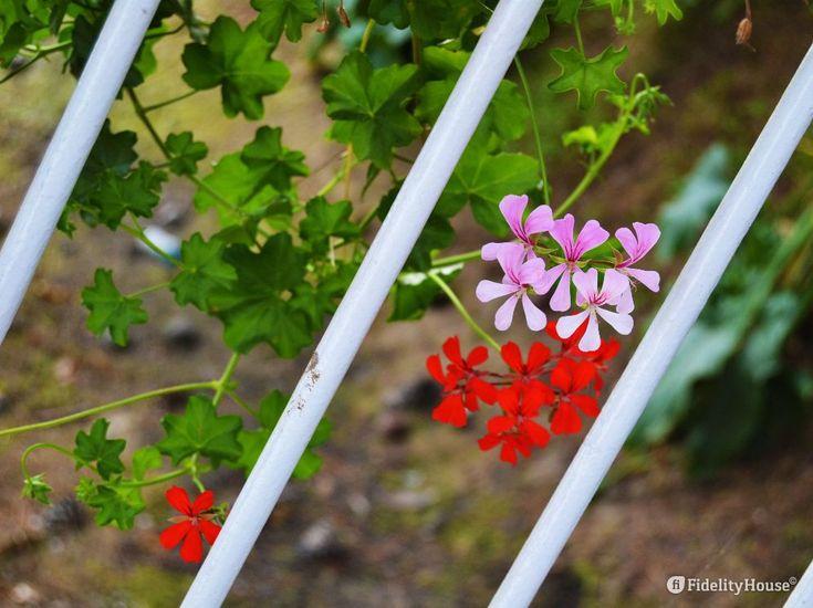 Non sono in carcere questi vivaci gerani rossi e rosa come potrebbe sembrare, ma in un giardino dalla ringhiera inclinata.