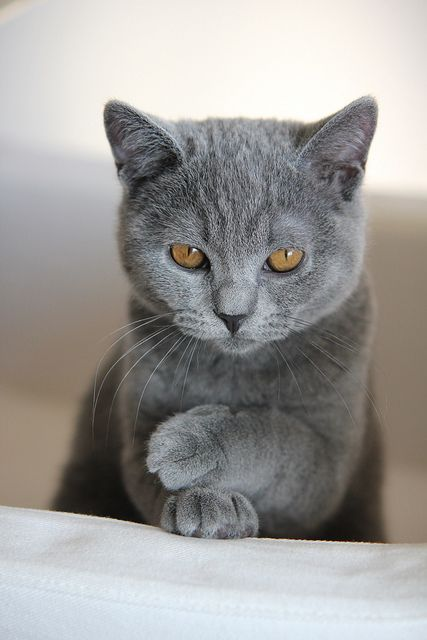 I have the biggest weakness for grey cats! Soooooo pretty <3