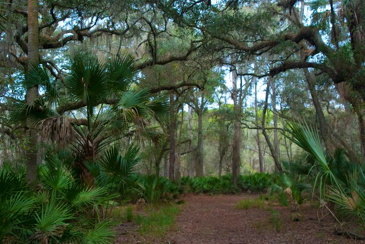"""One of our hikes in """"Five Star Trails Orlando,"""" Blue Spring State Park – Pine Island Trail leads you through ancient oaks en route to the St. Johns River"""