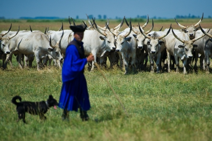 Hungarian grey cattles and their herdsman