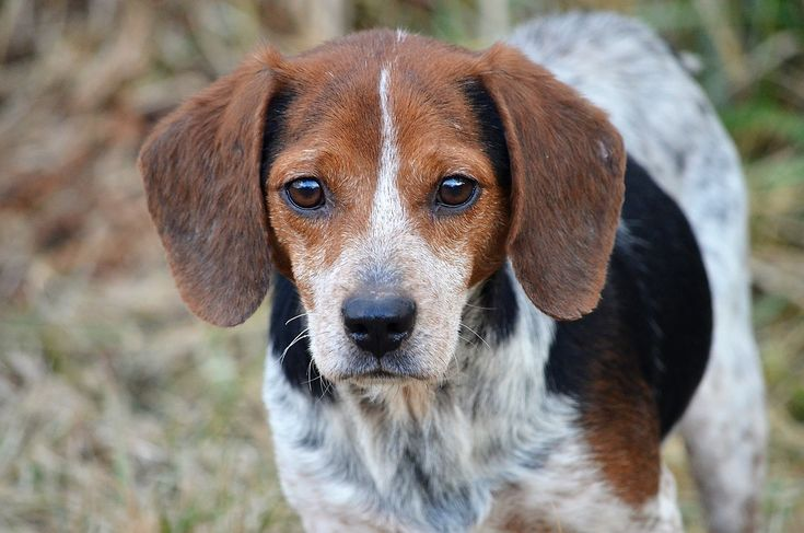 Chip is an adoptable beagle searching for a forever family near Amissville, VA. Use Petfinder to find adoptable pets in your area.