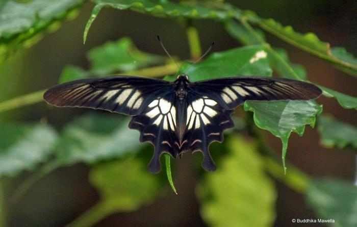 Mariposas  La Pachliopta jophon es una especie de mariposa extremadamente exótica, que solo puede encontrarse en Sri Lanka. Por desgracia, estas magníficas mariposas se encuentran en peligro de extinción debido a la deforestación masiva que destruyo gran parte de su hábitat natural.