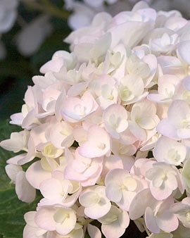 """~Endless Summer Blushing Bride' Hydrangea Blooms All Summer  Like the original 'Endless Summer' hydrangea, 'Blushing Bride' produces blooms throughout the season on both new and old stems. The pure white flowers measure up to 8"""" across and blush pink or deep blue as they mature, depending on your soil pH. Unlike most other hydrangeas, 'Blushing Bride' will bloom even if its buds have been damaged by cold the previous winter.  Blooms from June to first frost  Flower clusters are 4-8"""" across"""