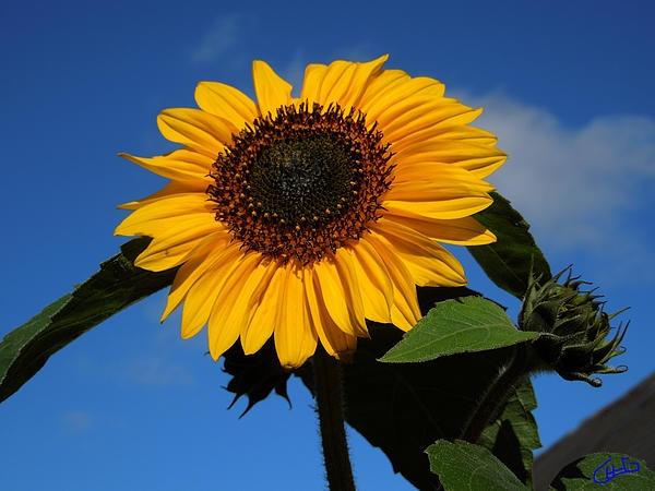 Sun Flower in Garden Denmark .Photography Colette H. Guggenheim