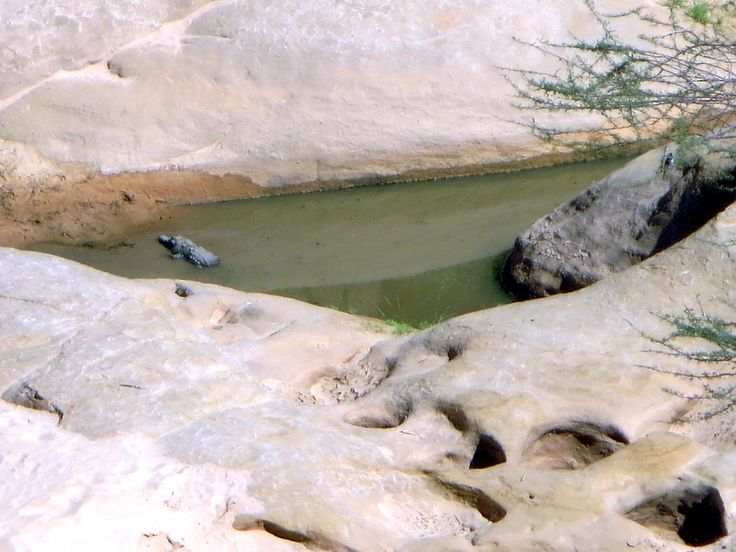 Desert crocodiles lurk at Guelta d'Archei, a permanent water source in the Ennedi Mountains of northeastern Chad, Central Africa.  Related to the Nile crocodile, these crocs are survivors from an earlier period when water covered much of the region.