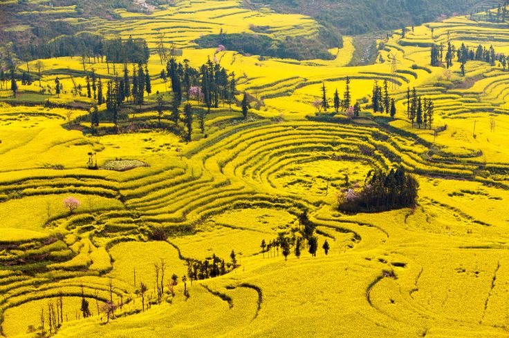 Canola Flower Fields, China       Come here during the blooming season to see sprawling fields of yellow flowers.