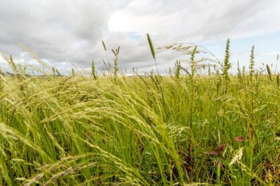What Is Teff Grass – Learn About Teff Grass Cover Crop Planting Agronomy is the science of soil management, land cultivation and crop production. People who practice agronomy are finding great benefits planting teff grass as cover crops. What is teff grass? Click here to find out how to grow teff grass cover crops.