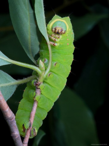Google Image Result for http://imgc.allpostersimages.com/images/P-473-488-90/28/2890/2REPD00Z/posters/george-grall-a-luna-moth-caterpillar-actias-luna-on-a-twig.jpg