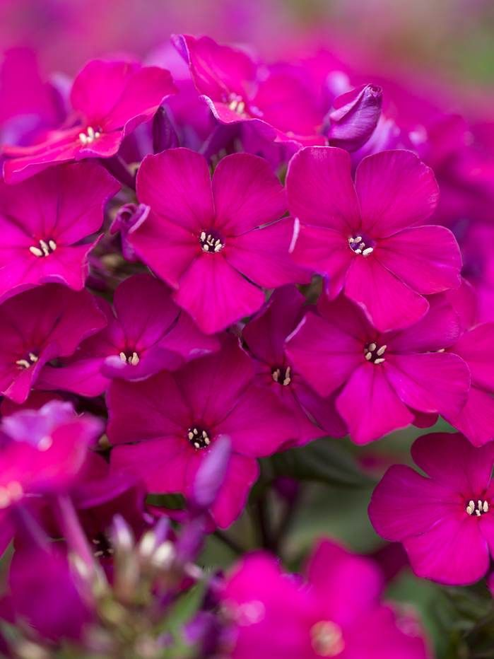 233 best Phlox images on Pinterest Flower gardening Beautiful