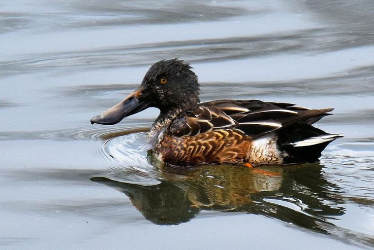 Fall Duck Migration #3 ~ Northern Shoveler (Female) « TonyParsley ...