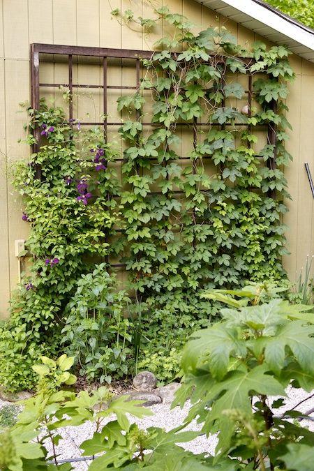 Cedar trellis growing hops on the side of the garage for Hops garden designs