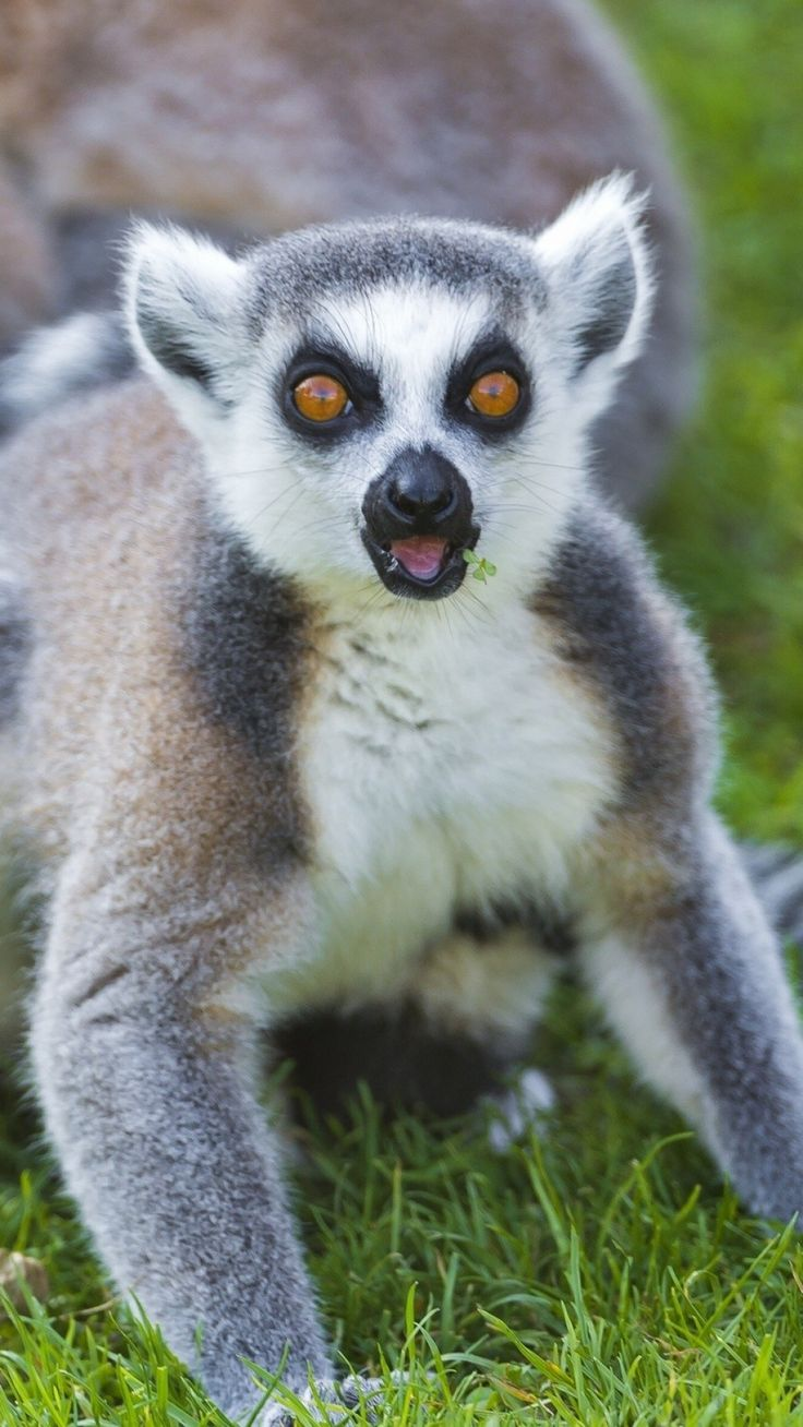 56 best images about PA Love Lemurs! on Pinterest  Madagascar, Survival and Wildlife photography