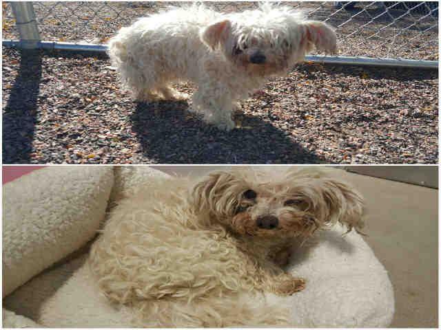 Poodle (Miniature) dog for Adoption in Brighton, CO. ADN-712411 on PuppyFinder.com Gender: Male. Age: Senior