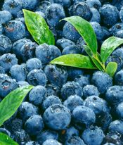 The USDA Touts its Hundred Year Blueberry History for Your Brain Health | Health and Wellness News #blueberries