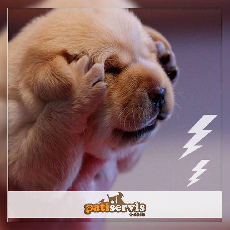 Gök gürültüsünün birçok köpekte fobi olduğunu biliyor musunuz? Dostunuz endişelendiğinde, onu azarlamak yerine sakinleştirmenizi öneriyoruz.