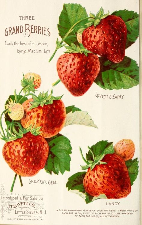 Page from 'Lovett's Illustrated Catalogue of Fruit and Ornamental Trees and Plants for the Autumn of 1891' showing 'Three Grand Berries' - 'Lovett's Early', 'Shuster's Gem' and 'Gandy.' Introduced & for sale by J.T. Lovett Co. Little Silver. N.J