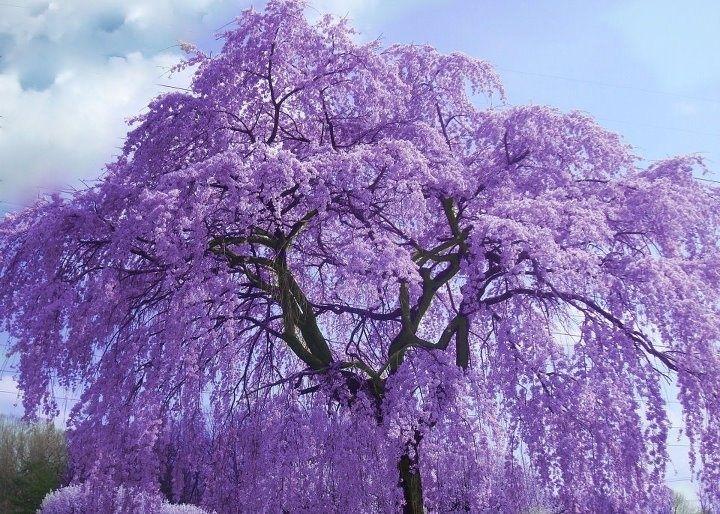 Image result for purple flowering tree