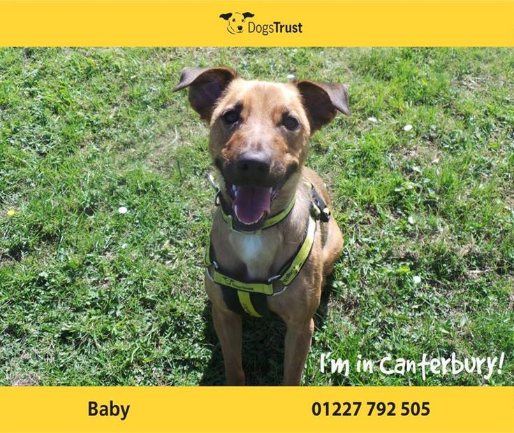 Baby is a sweet girl at Dogs Trust Canterbury who needs lots of positive fun to help build her confidence in a new home. She likes to take her time to get to know you but once she does she loves to interact with her toys. Baby loves her food, knows some of her basics and is always keen to learn more. She can be shy of some dogs but then loves to play with others!