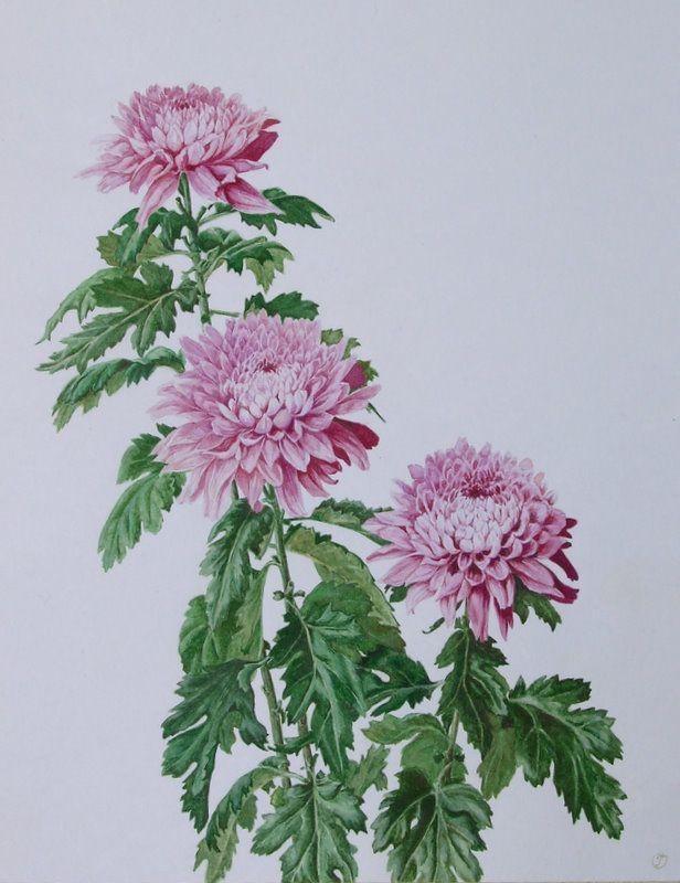 Хризантемы рисунок акварелью поэтапно, днем