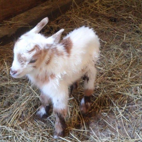 Can't wait for my baby brother❤️ #goats #goatsofinstagram #goatmom #cantwait #monday #likeitup